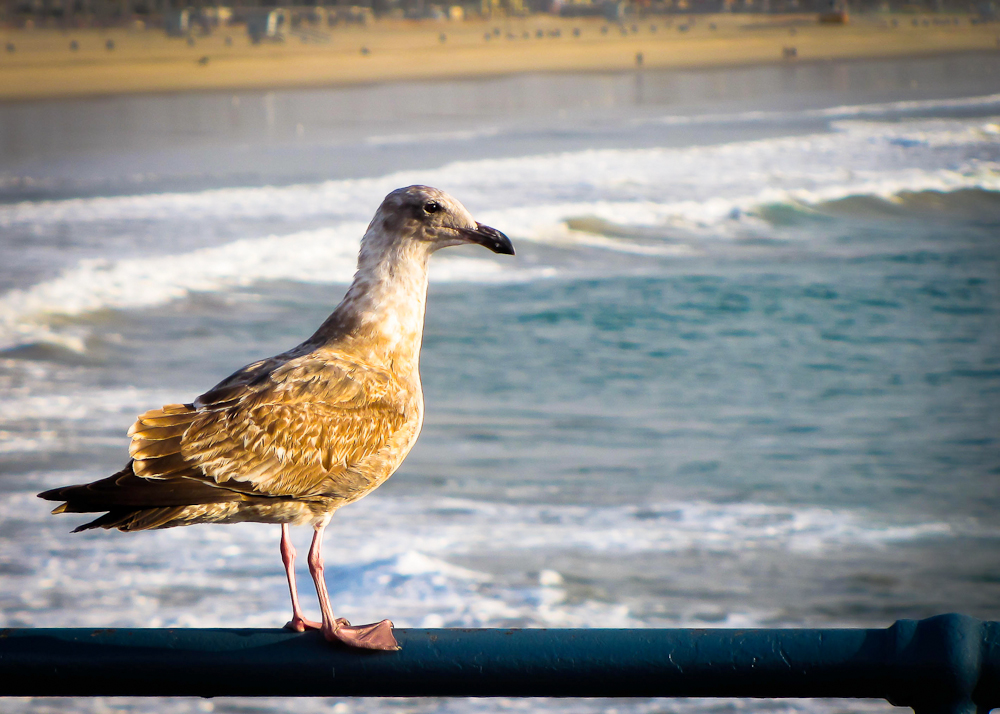 """California Gull"""