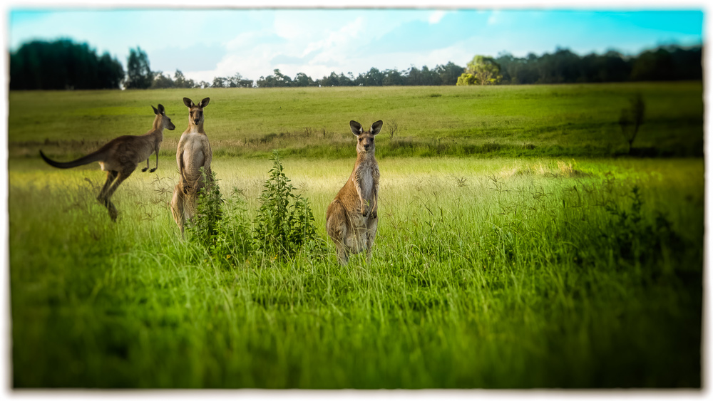 """Three Roos For Youz"""