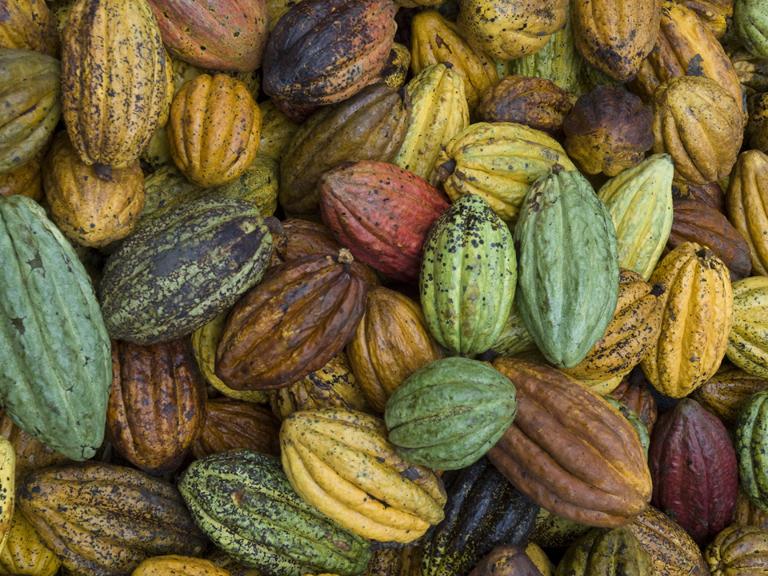 CC_Peru_farms_cacaoharvest_158.JPG