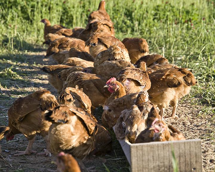 WOP_Chickens2.jpg