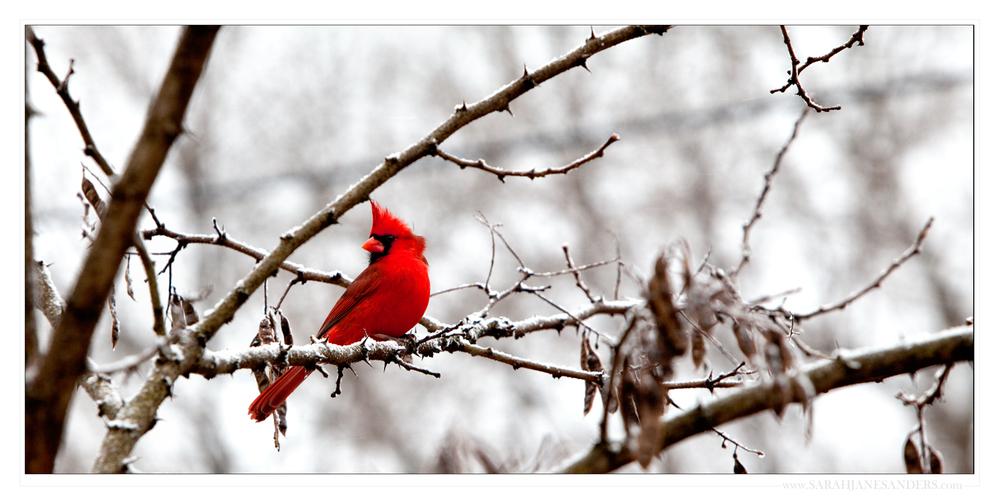 SARAH JANE SANDERS 2014_Frankfort Kentucky_Cardinal.jpg