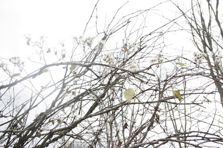 lime vines