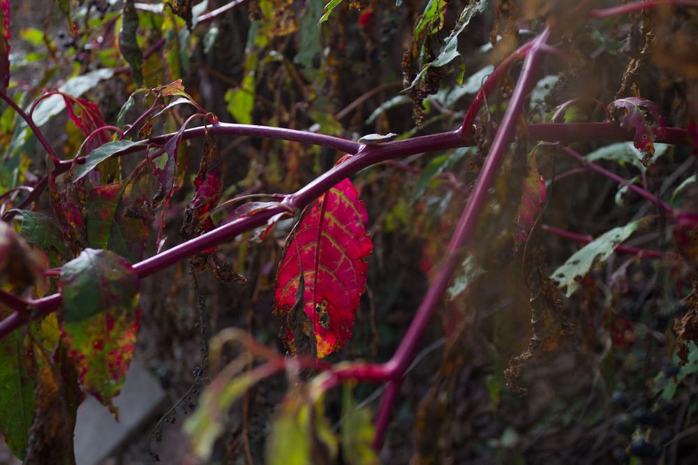 early fall_pokeberries_ink-5419.jpg