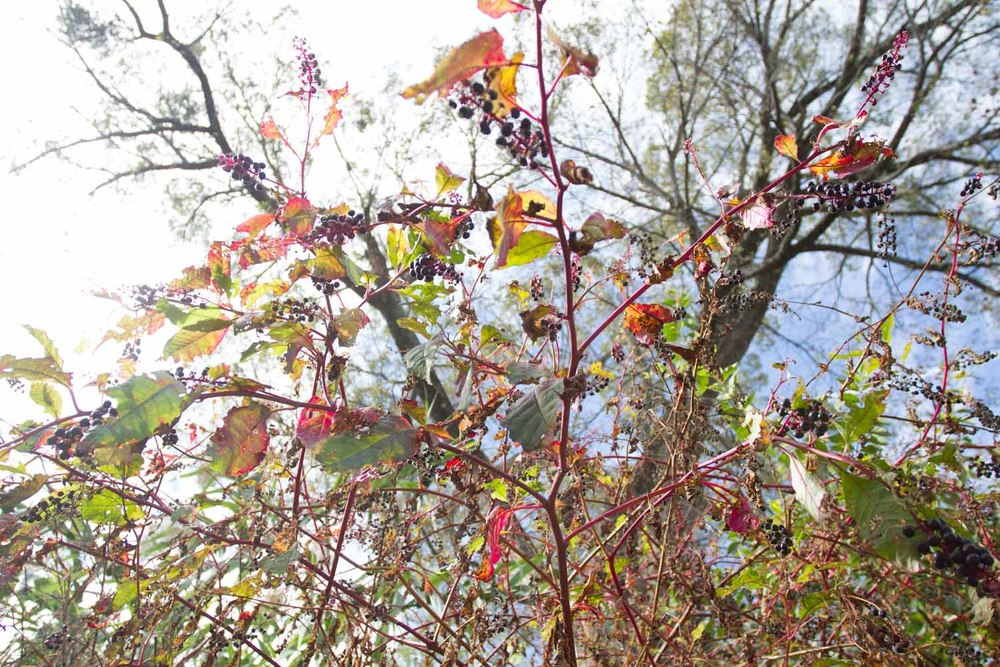 early fall_pokeberries_ink-5430.jpg