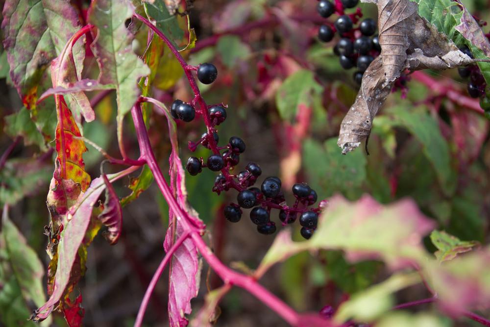 early fall_pokeberries_ink-5435.jpg