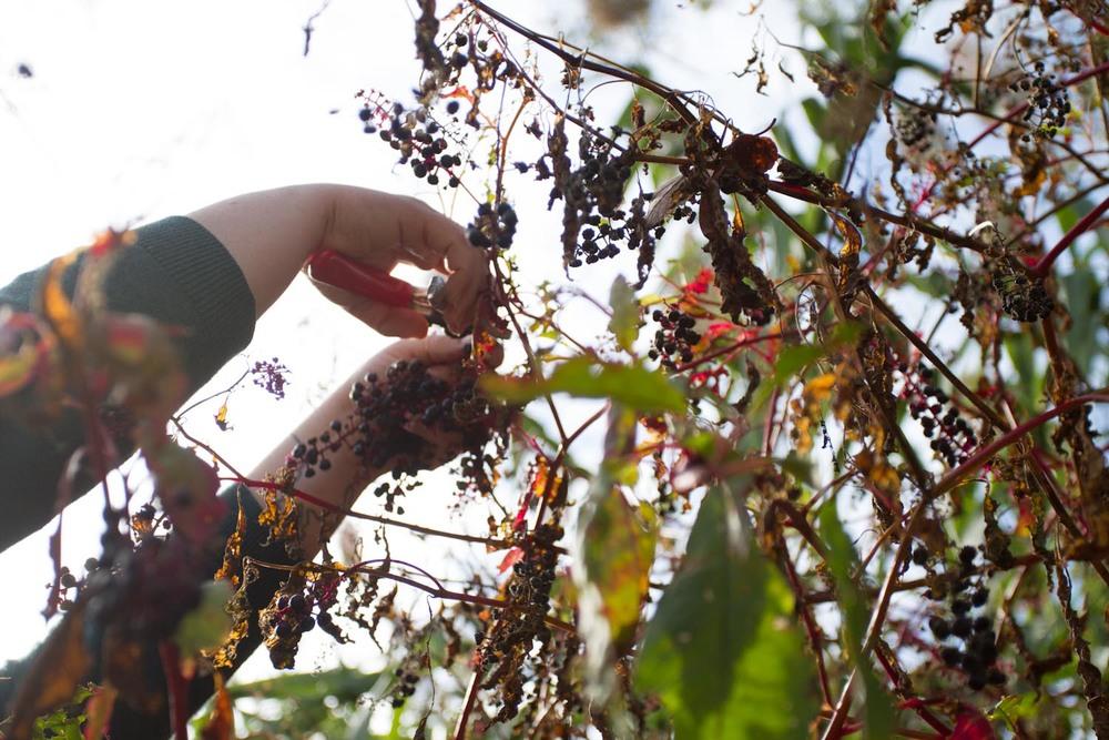 early fall_pokeberries_ink-5470.jpg