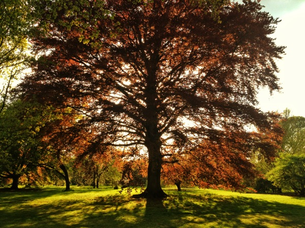 sunbathed oak, kew gardens, london