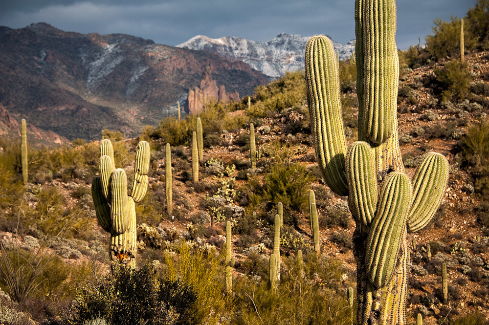 KNARLY SAGUAROS The iconic Saguaro cactus and their twisted arms