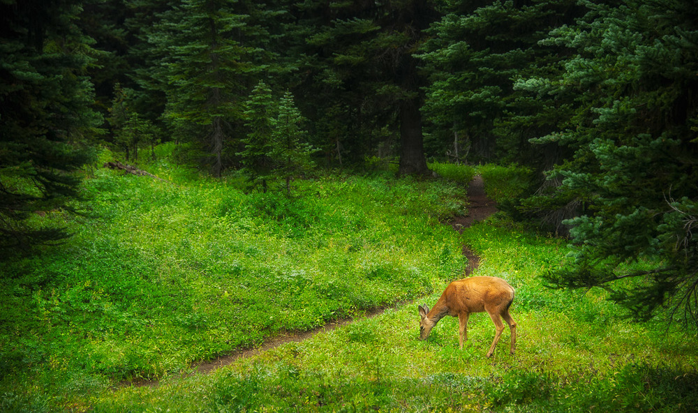 A lone deer around our camp on a wet afternoon on the Devil's Dome trail in the Pasayten Wilderness.