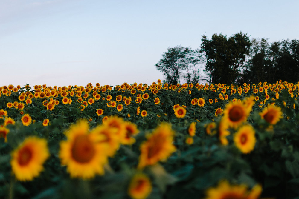alyssa barletter photography sunflower field photos-5.jpg