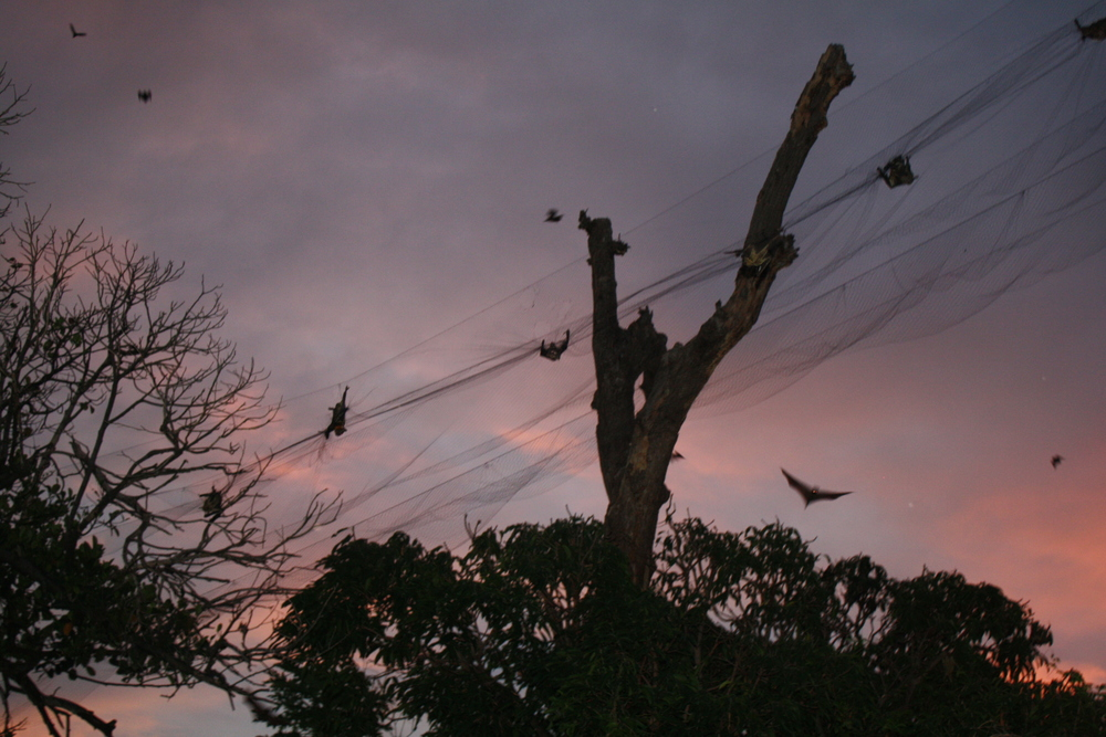 Fruit bats captured in a mist net at dawn in Dar es Salaam.