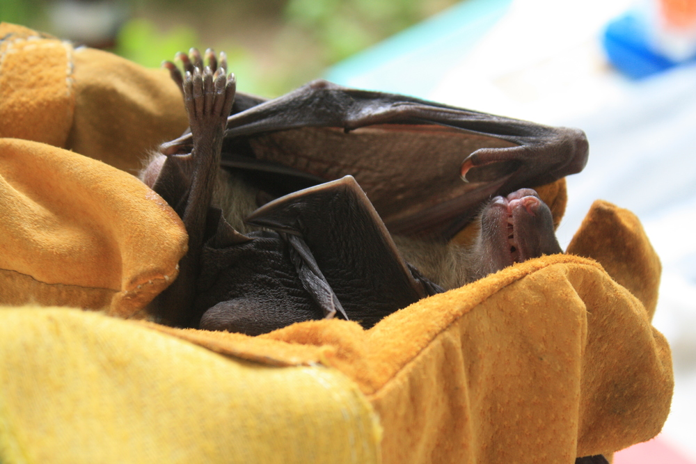 Wearing protective gloves, a HALI team member holds a captured fruit bat before sampling.