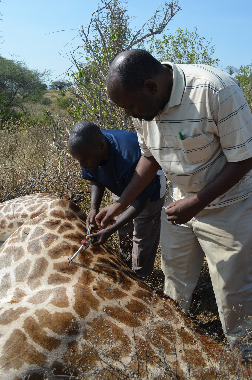 "Ruaha National Park veterinarian, Dr. Alex Epaphras (left), and Sokoine University of Agriculture veterinarian, Dr. Mpanduji, remove the dart from the giraffe's side. With the anesthetic drugs wearing off, these wildlife immobilization experts quickly wrap up the sampling and get the team safely out of the area. After a final check to make sure the giraffe is doing well, they inject a drug to reverse the anesthesia. Under many watchful eyes, the giraffe wakes up and heads back into the bush.                  Normal.dotm     0     0     1     71     409     University of California, Davis     3     1     502     12.0                          0     false             18 pt     18 pt     0     0         false     false     false                                                     /* Style Definitions */ table.MsoNormalTable 	{mso-style-name:""Table Normal""; 	mso-tstyle-rowband-size:0; 	mso-tstyle-colband-size:0; 	mso-style-noshow:yes; 	mso-style-parent:""""; 	mso-padding-alt:0in 5.4pt 0in 5.4pt; 	mso-para-margin:0in; 	mso-para-margin-bottom:.0001pt; 	mso-pagination:widow-orphan; 	font-size:12.0pt; 	font-family:""Times New Roman""; 	mso-ascii-font-family:Cambria; 	mso-ascii-theme-font:minor-latin; 	mso-fareast-font-family:""Times New Roman""; 	mso-fareast-theme-font:minor-fareast; 	mso-hansi-font-family:Cambria; 	mso-hansi-theme-font:minor-latin;}"