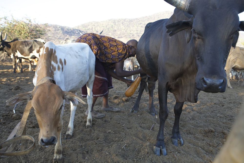 In A Pastoralist Boma Livestock Pen Woman Milks Her Cow Into The Traditional