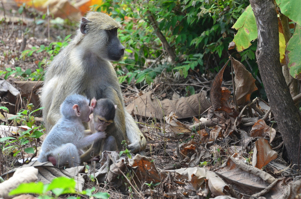 A family of baboons in the Udzungwa forest area where the HALI team led by Dr. Liz Vanwormer collected samples to screen for potential  pathogens that could pose a risk to human and animal health.