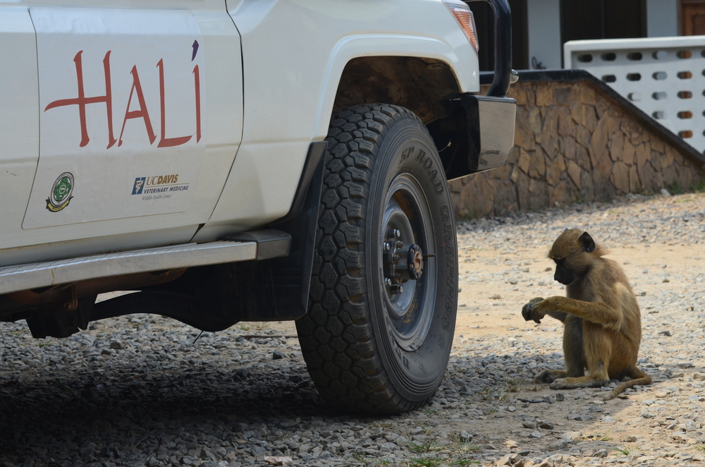 "A young baboon waits outside the HALI Land Cruiser.  Baboons are often found near roadsides and areas where people congregate and are expert scavengers and opportunists always ready to take some ""samples"" of their own from unsuspecting people."