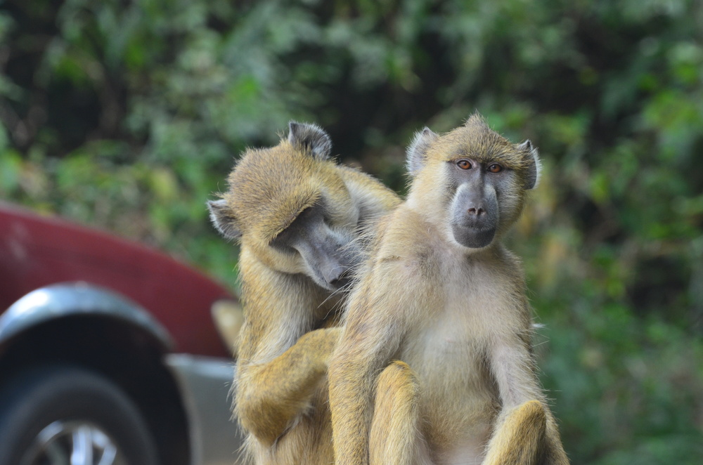 A pair of baboons grooms near the trailhead where the HALI team collected specimens.