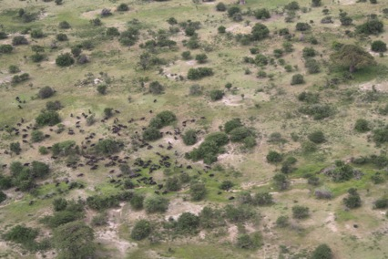 Picture 1: A buffalo herd photographed from the air.