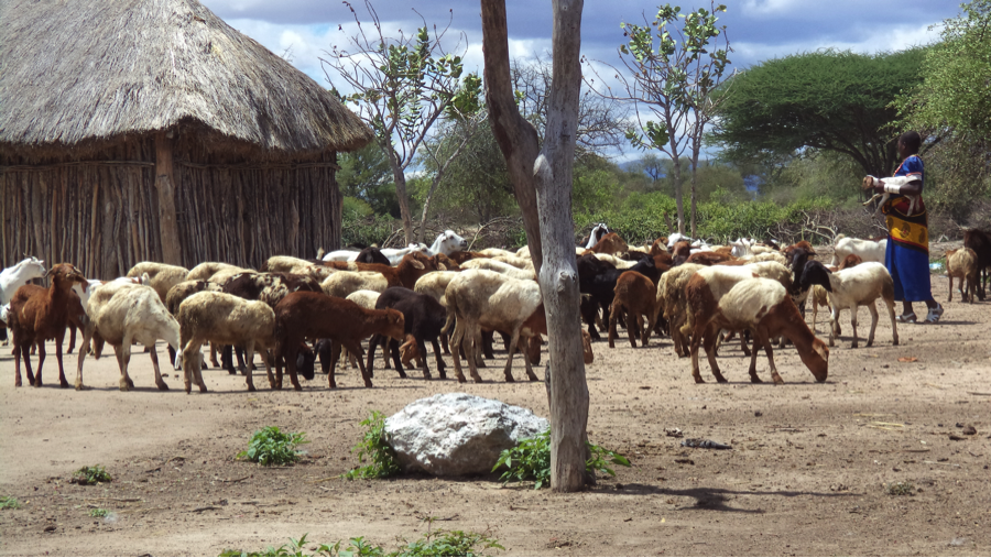 A pastoralist carries a lamb as she herds her flock of sheep and goats. Many pastoralist households depend entirely upon livestock for their livelihoods. (Photo by Mwokozi Mwanzalila)