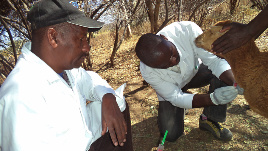 HALI researcher Alphonce Msigwa prepares to collect a blood sample from sheep. Looking on is a Laboratory technician from TVLA Mr. Abnery Mrema.  Blood and brain tissues are sent to Sokoine University of Agriculture for laboratory analysis. (Photo by Mwokozi Mwanzalila)