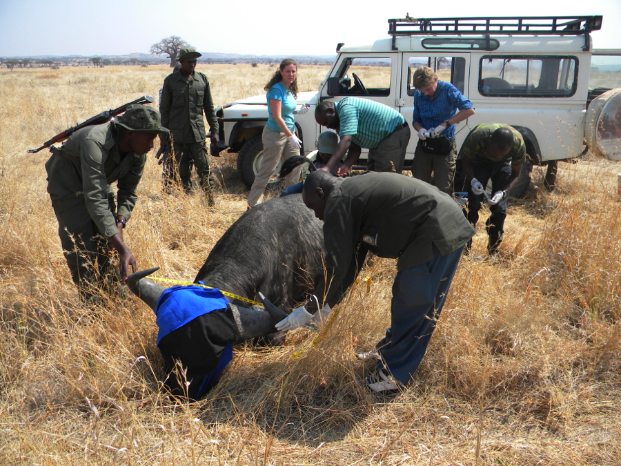 The team from HALI, Ruaha National Park and Sokoine University of Agriculture collecting samples and measurements on an immobilized buffalo. Team members from left to right:  Rangers: Martin Sakawa and Edwin Kwatha, Dr. Deana Clifford, Dr. Goodluck Paul (kneeling behind buffalo), Prof. Donald Mpanduji (holding tail), Dr. Annette Roug, Ally Kikula (R rear), and Dr. Epaphras Alex Muse (R front). Team members not in picture: Erasto Katowo and Amani Zacharia.
