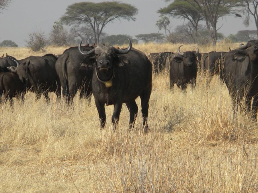 During the work, the team located the buffaloes that were collared in 2014. All looked healthy and in good condition. At least two of the collared buffaloes were also seen with a calf on foot.