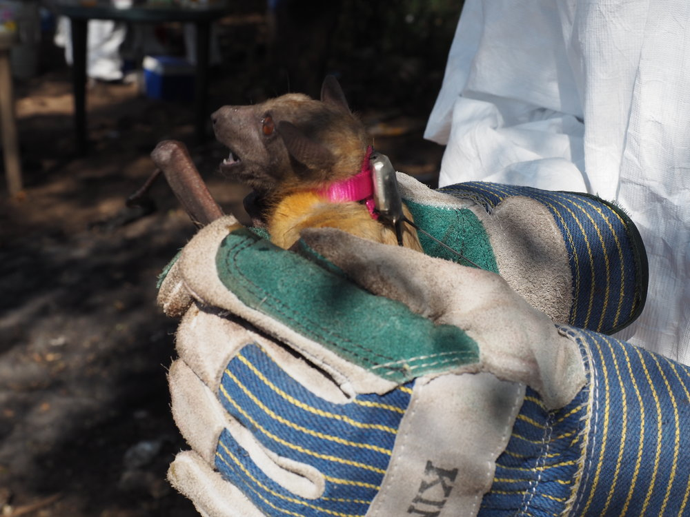 Handling a fruit bat to safely apply the collar.