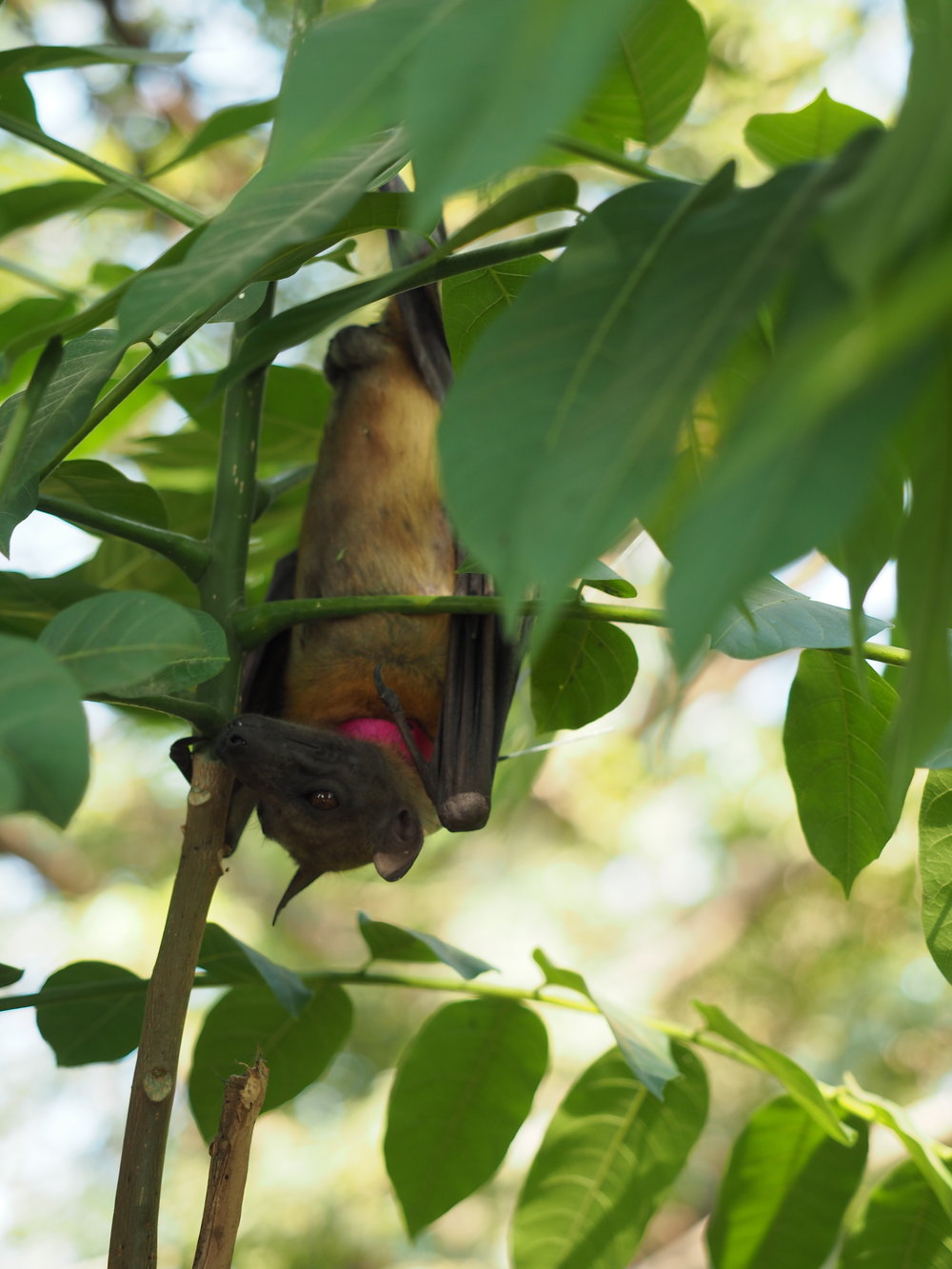 A fruit bat bat safe in the roosting tree and sporting a fresh new collar.