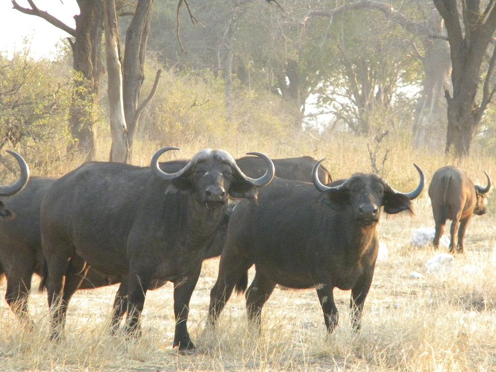 Roug buffalo