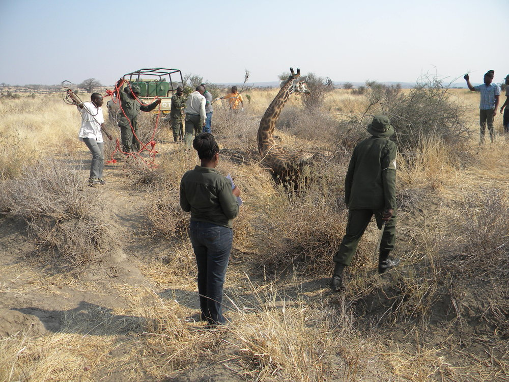 Preparing to release a giraffe after sampling. Chief ecologist Halima Kiwango (foreground) is taking notes. (Photo: HALI Project/Roug)