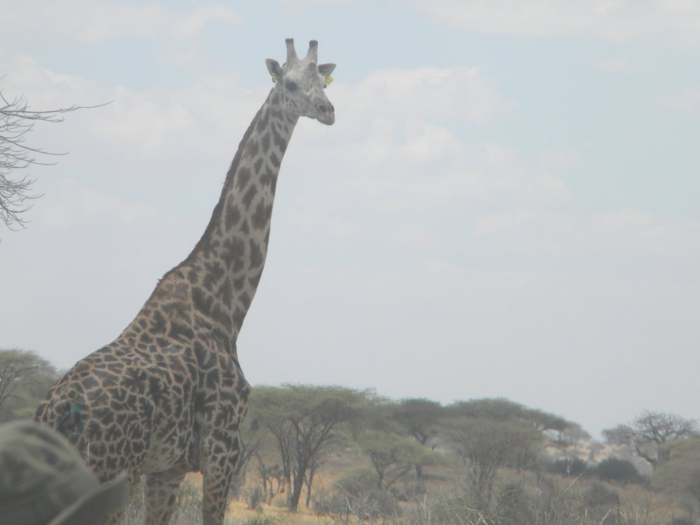 Ear tagged giraffe after release. (Photo: HALI Project/Roug)