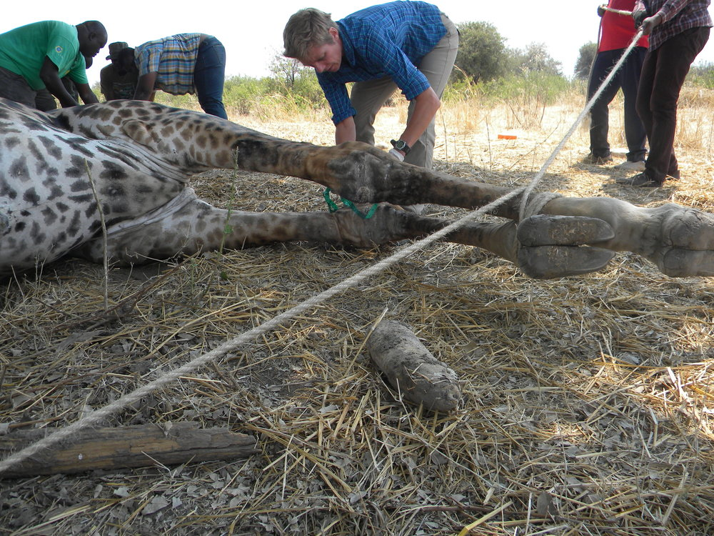 Dr. Annette Roug measuring and sampling a skin disease lesions on the front leg of a giraffe. (Photo: HALI Project)