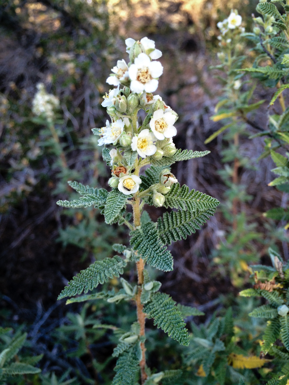 Fernbush. North Rim, Grand Canyon National Park, Arizona. September 2015.