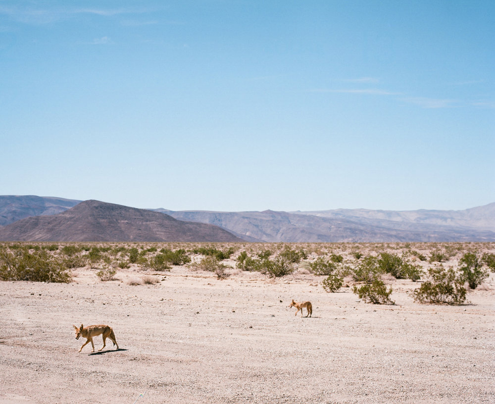 Coyotes. Death Valley, CA. August 30, 2015.
