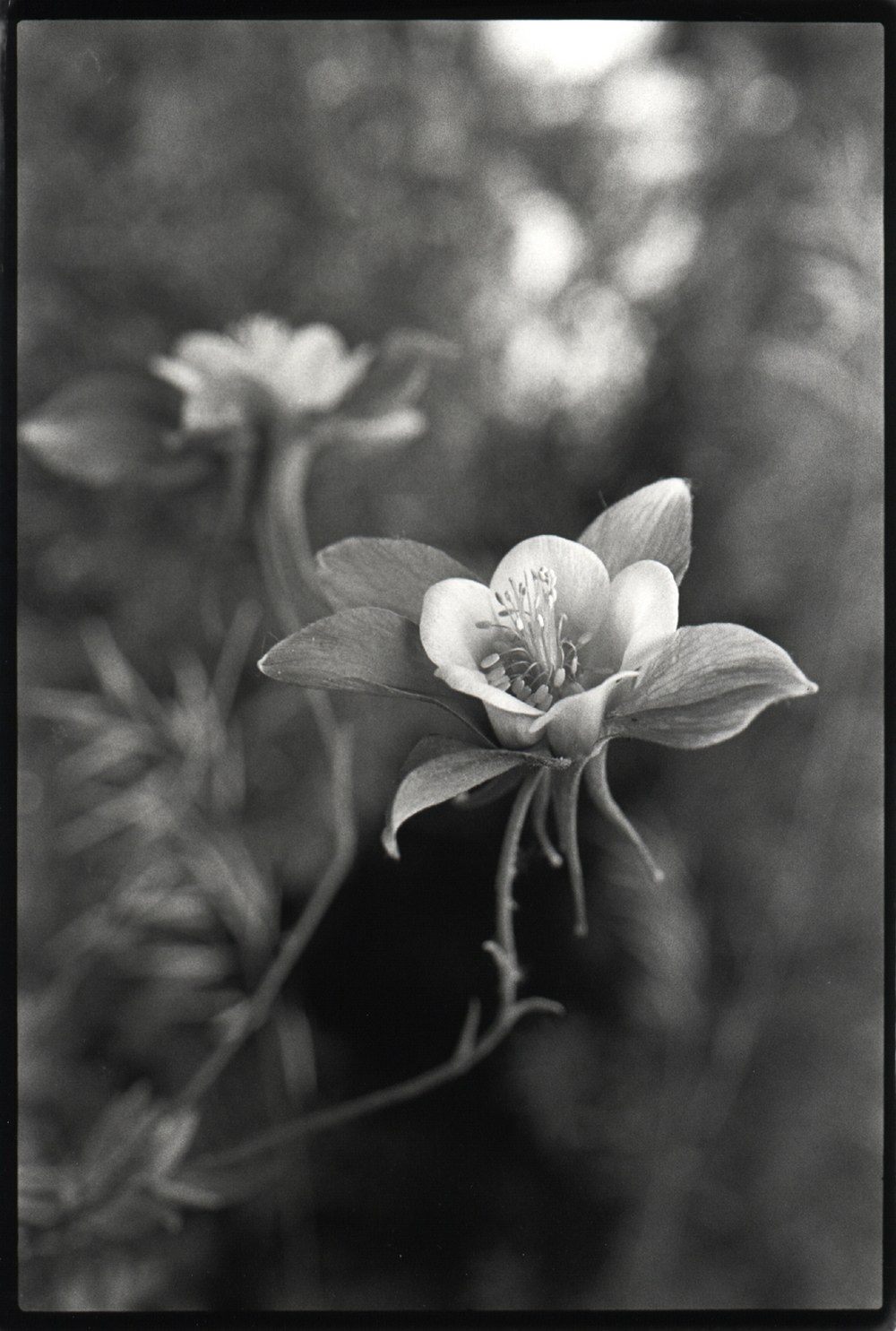 single flowering columbine .jpg
