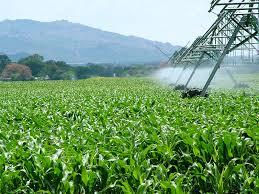 Plantación de maíz en Sudáfrica.