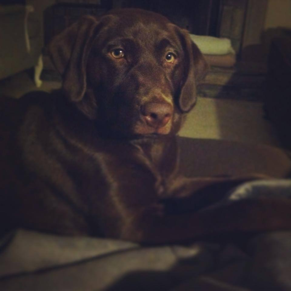 Henderson & Co's Chocolate Lab Ellie is growing up quickly.
