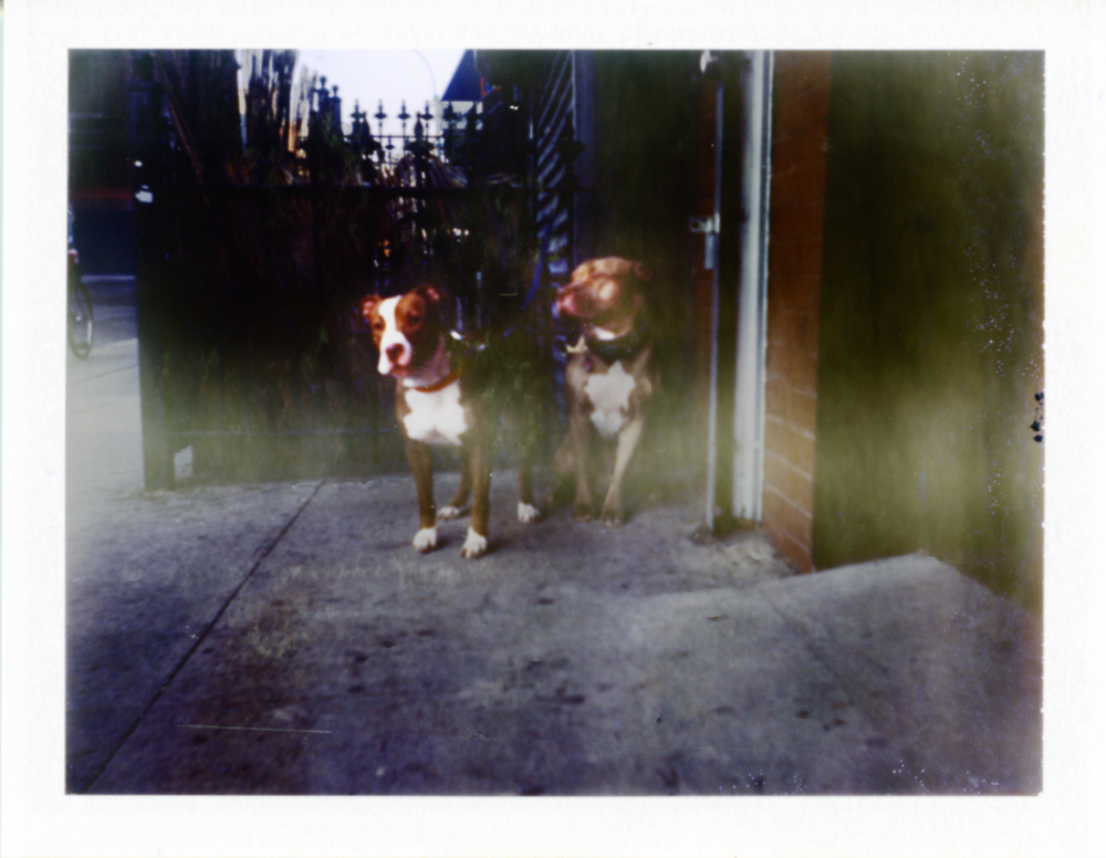 Two cool dogs, bed stuy, brooklyn