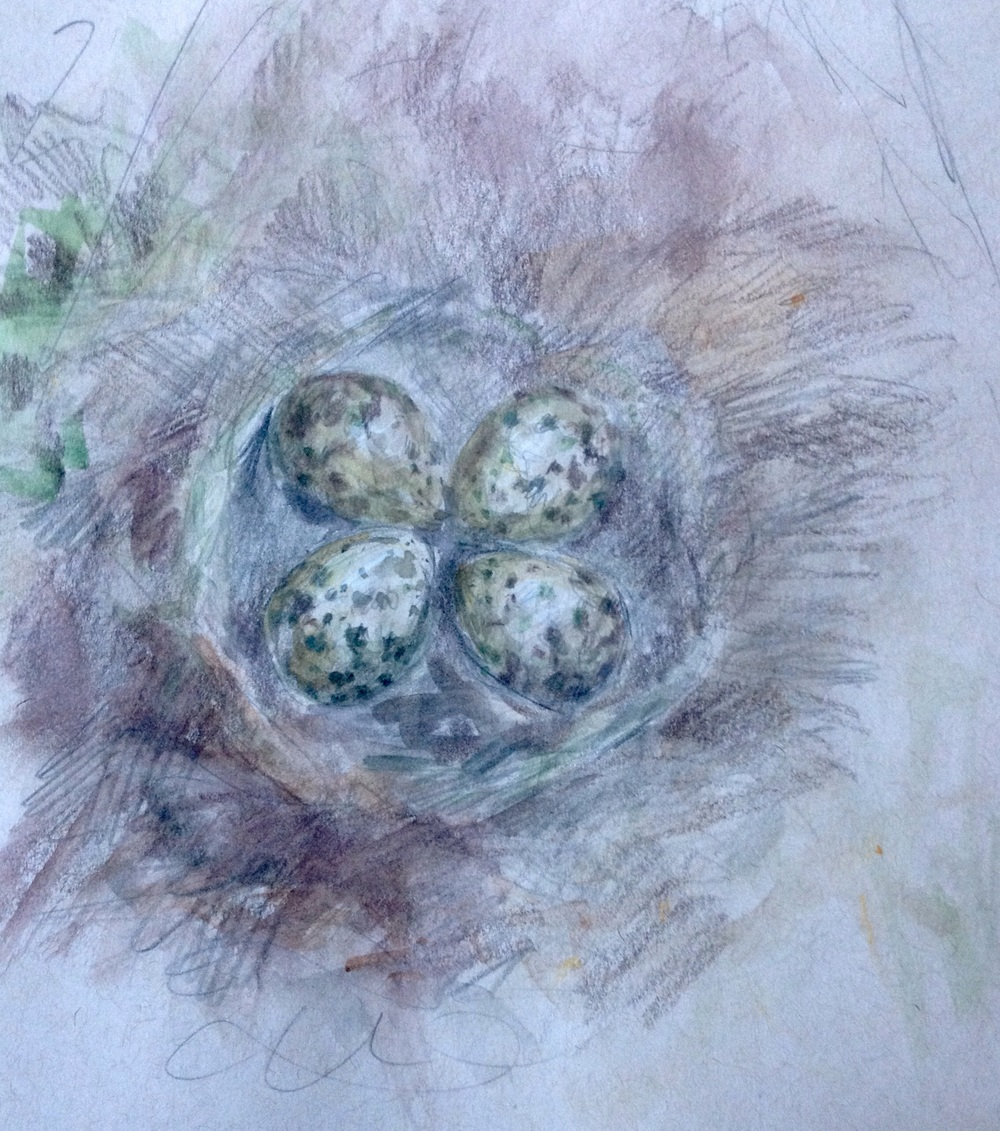 Northern Lapwing eggs (Friesland, Netherlands)