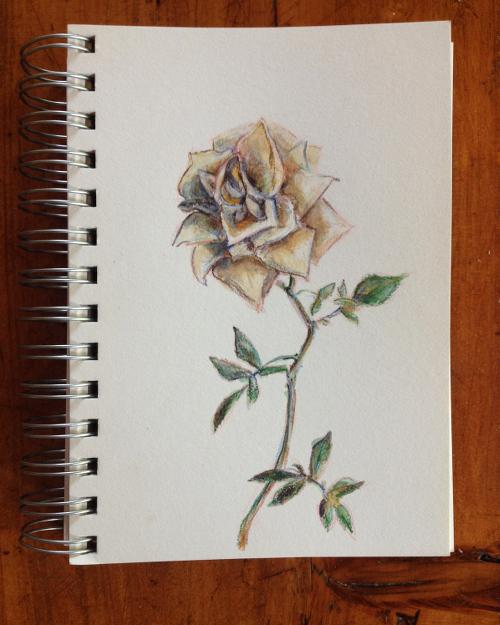 A rose, Nairobi, Kenya