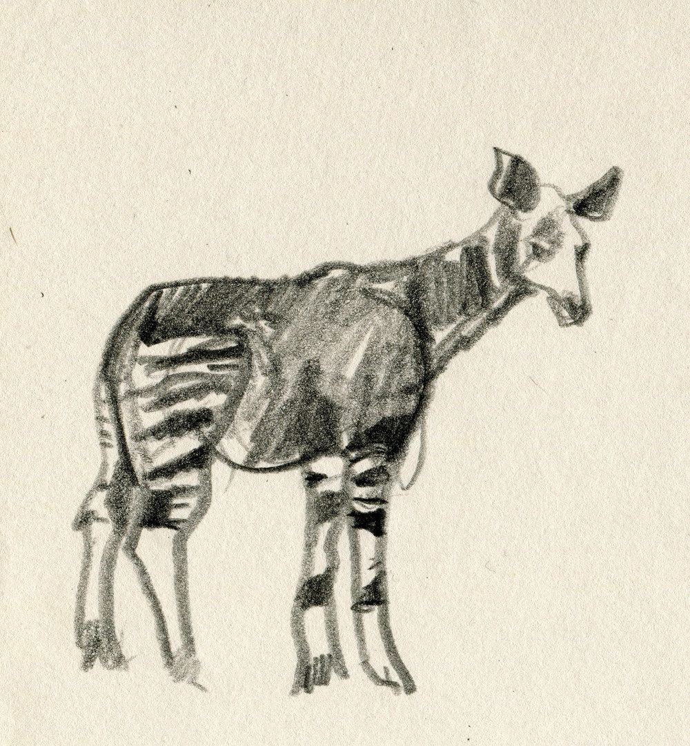 Okapi, sketched right off the Wikipedia page