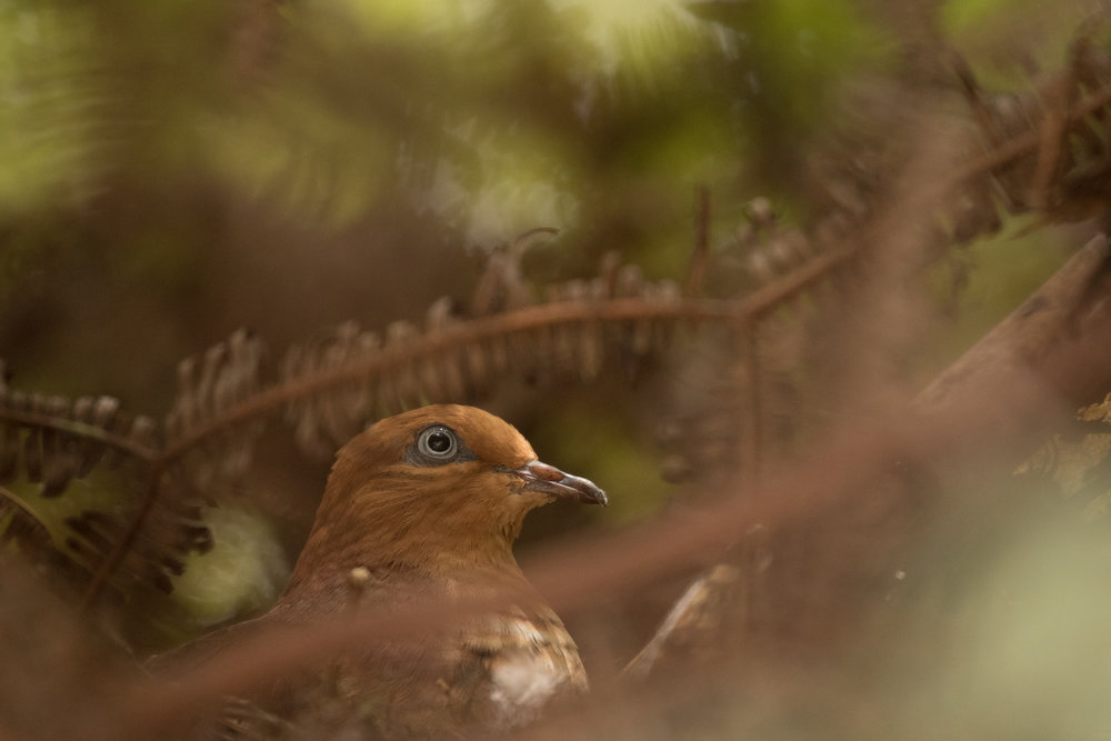 Little Cuckoo-Dove nesting by the road through Kinabalu Park