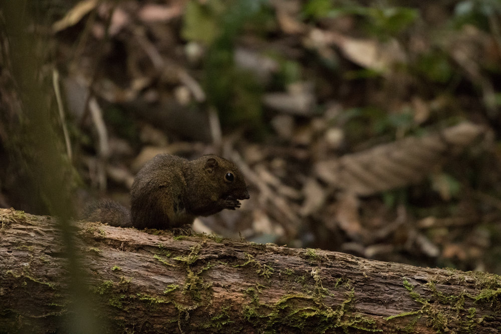 One of Mount Kinabalu's many rodents, who like to find bird nests as much as we do