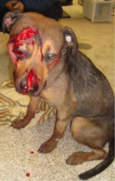 Chainsaw injuries dog.png
