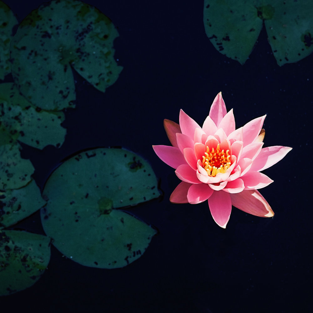 75pink water lily.jpg