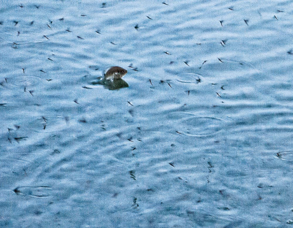 What is a Mayfly and why is there a feeding frenzy going on