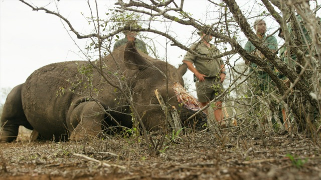 a nursing black rhino female - but where is her baby .jpeg