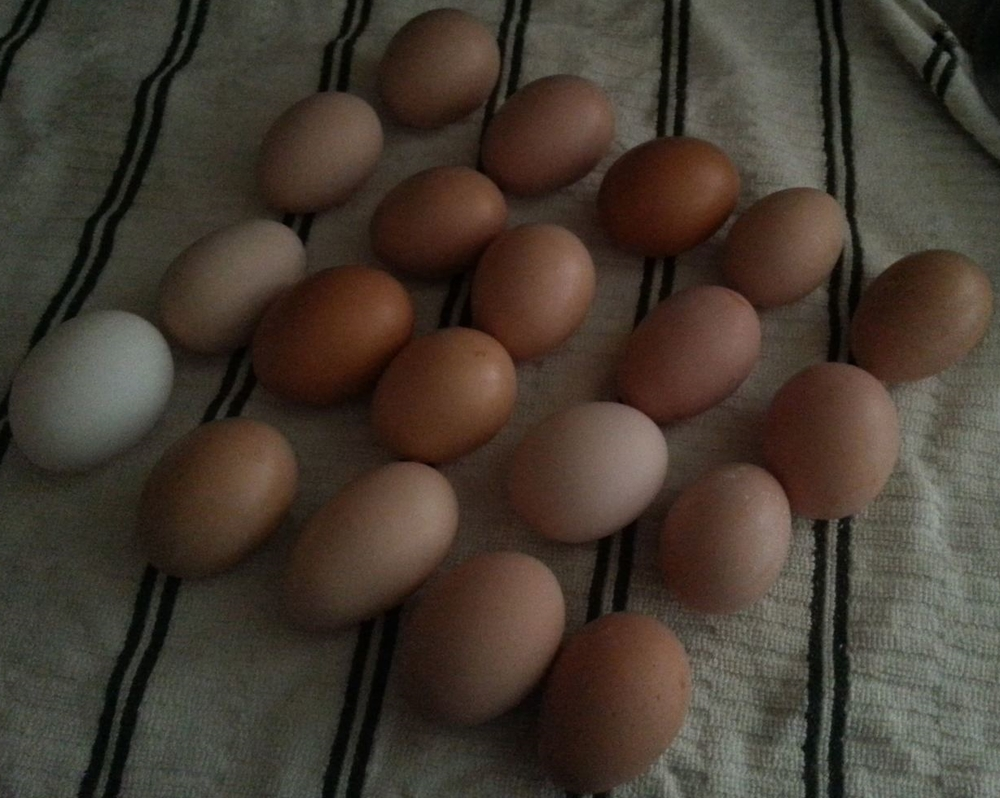 A typical morning collection from our coop - time to feed the dogs!