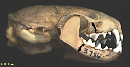From  RawFed.com  - This is the skull of a weasel (also in Order Carnivora), originally from  Centennial Museum.