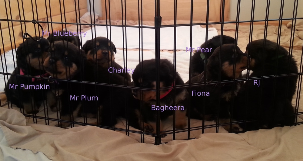 Quaking Canopy - Rottweiler breeder, Nevada. Rottweiler puppies for sale in Quaking Canopy